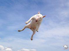 Bull Drone! #dogs #pets #Bullterriers Facebook.com/sodoggonefunny