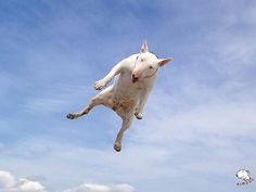 Bull Drone! #dogs #pets #Bullterriers Facebook.com/sodoggonefunny
