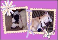 My sleeping beauties...Baelei (6 yr old blue merle border collie) and Kahlua (12.5 yr old pitbull)❤️❤️❤️