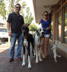 "Spotted in Kansas City, MO: Great Danes Duke and Vitiro with their Chihuahua ""sister,"" Bella."