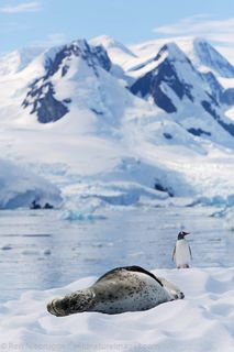 Leopard seal, Cierva Cove photo Scenic Photography, Underwater Photography, Nature Photography, Penguin Bird, Gentoo Penguin, Amur Leopard, Snow Leopard, Wildlife Nature, Antarctica