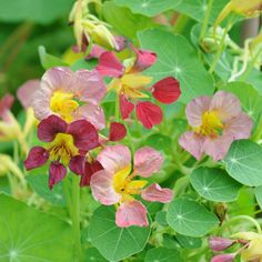 SLINGERKRASSE 'Purple Emperor' i gruppen Ettåriga blomsterväxter / Slingrande/Klättrande hos Impecta Fröhandel (88040)