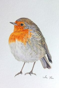 European Robin by Ian Rees
