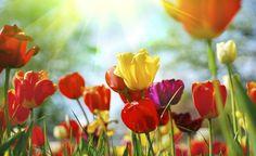 Tulipanes: cuidados y mantenimiento