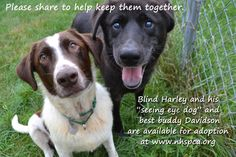 Harley is blind and his faithful friend Davidson has been by his side their whole lives, guiding him through the darkness.  It's so touching to see their commitment to each other and to watch them meet every struggle head on, with tails wagging. Their journey is far from over--- as they now face a new challenge of finding a forever home, together. Please help them find a home, by sharing their story. For more information please visit www.nhspca.org