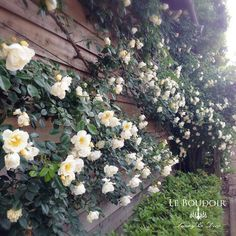 Fujisawa Rose Garden at Tukuba city Ibaraki Japan