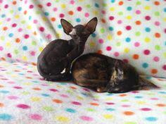 Blackjack Peterbald kitten from Minkiliu cattery KZN South Africa