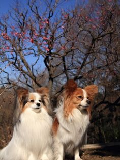 Love these sweet Papillon dogs! Wish I could have one!