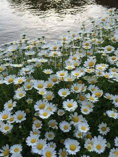 Little flowers - daisies Little Flowers, Pretty Flowers, White Flowers, Fresh Flowers, Sunflowers And Daisies, Daisy Field, Blossom Garden, Daisy Love, Flower Aesthetic