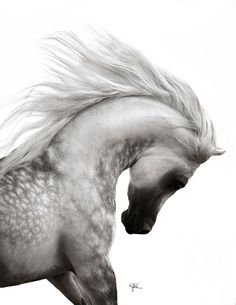 MUSTAFA VO (LAHEEB IASB x ALIDARIA) 2008 Grey Stallion  Straight Egyptian     April Visel Photography   Valley Oak Arabians – MUSTAFA VO