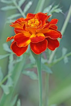 Marigold – They also have amazing benefits for your hair helping it stay silky a… - Blumen Marigold Tattoo, Marigold Flower, My Flower, Flower Power, Amazing Flowers, Beautiful Flowers, Flowers Nature, October Flowers, Birth Flowers