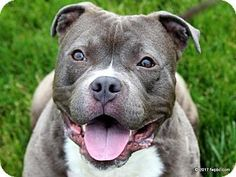 Fort Wayne, IN - Pit Bull Terrier/Staffordshire Bull Terrier Mix. Meet Pudge, a dog for adoption. http://www.adoptapet.com/pet/18265533-fort-wayne-indiana-pit-bull-terrier-mix