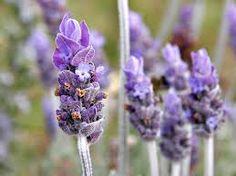 How lavender can help you sleep: