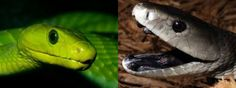 Know more about Green Mamba vs Black Mamba fight facts. Black Mamba, Me On A Map, Facts, Green, Wild Animals, Snakes, Google, Snake, Wild Ones