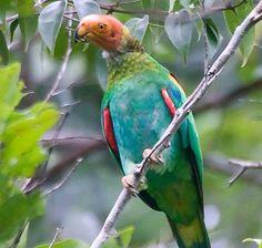 Bald Parrot (Pyrilia Aurantiocephala)