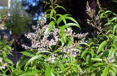 """Όλυμπος Εφημερίδα: Αυτό είναι το """"χόρτο του Θεού"""" με τις πολλές ευεργετικές ιδιότητες!!! Home Remedies, Natural Remedies, Greek Flowers, Holistic Medicine, Tree Forest, Flowering Trees, Health And Beauty, Herbalism, Health Fitness"""
