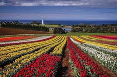 Hotels-live.com/pages/sejours-pas-chers - It might not be tulip season in @TasmaniasNW at the moment but we couldn't go past this stunning shot of the legendary Table Cape blossoms and lighthouse by @tasphotos2015. Each year from late September through to mid October the rich volcanic soils near the coastal town of Wynyard explode into colour and visitors from across the globe delight in walking - or should that be top-toeing? - amongst the rows of tulips. Our photographer Peter is about to…