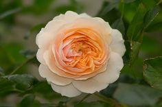 のんくり日和: 【バラ】ガーデン・オブ・ローゼズの調子が戻ってきました