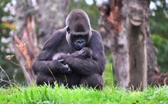 Indigo the baby gorilla with her mum Hlala Kahilli at the Gerald Durrell Wilrlife park. Picture: Jon Stark/SWNS.com