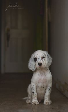 English Setter puppy. Pet portrait. Photography. Pouka.com