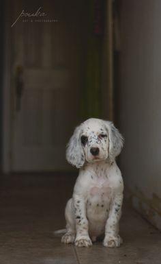 English Setter puppy. Pet portrait. Photography. Pouka.com