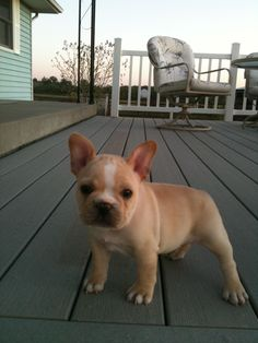 french bulldog puppy. Want one   If I ever get a dog it would be like this !