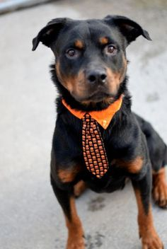 Brooklyn Center CESAR – A1092718 MALE, BLACK / BROWN, ROTTWEILER MIX, 4 yrs OWNER SUR – EVALUATE, NO HOLD Reason NO TIME Intake condition EXAM REQ Intake Date 10/07/2016, From NY 11203, DueOut Date10/10/2016, I came in with Group/Litter #K16-077173