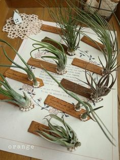 1000 Images About Gardening Air Plants On Pinterest