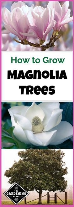 Choose the correct variety to successfully grow magnolia trees with a species adapted to your climate. Learn more about growing magnolia trees.