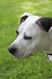 Petango.com – Meet Satin, a 3 years Terrier, American Pit Bull / Mix available for adoption in Hagerstown, MD