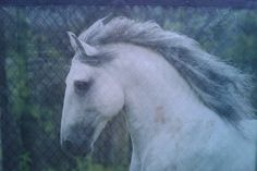 One of the horses at Cavalia. Love this show. Saw it twice!