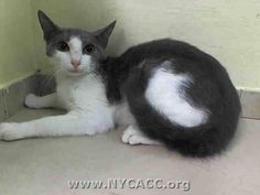 TO BE DESTROYED 9/16/14 ** BABY ALERT! China Cat interacts with the observer, appreciates attention, is easy to handle and tolerates all petting. ** Manhattan Center My name is CHINA CAT. My Animal ID # is A1013037. I am a female white and gray domestic sh. The shelter thinks I am about 4 MONTHS old. I came in the shelter on 09/05/2014 from NY 11377, OWN EVICT. Group/Litter #K14-193096.
