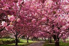 Resultado de imagen para jardines japoneses cerezos