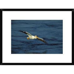 "Global Gallery 'American White Pelican Flying' Framed Photographic Print Size: 18"" H x 24"" W x 1.5"" D"