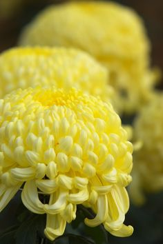 A chrysanthemum