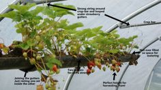 Hanging strawberry gutter planter how-to guide