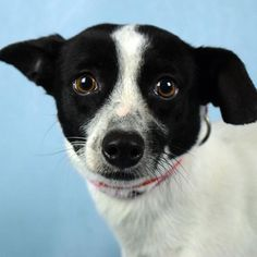 "A message from Amy's happy adopter Danay: ""Amy is one of the over 200 pets that came from Puerto Rico. Shes a rat terrier mix black and white 2 years 6 months old and weighs about 14lbs. . When I first saw Amy on the news (@WSVN) I told my mother that all I wanted for my birthday is a dog. Finally on National Pet Day (April 11th) I went and met with Amy and I knew she was meant for me! My mother and I decided to adopt her because Amy is very sweet adorable and amazing loving dog. . Amy is in…"