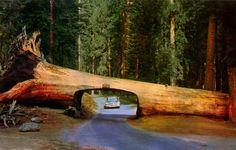 Tunnel Log in Sequoia National Park, California
