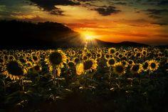 Sunflowers at sunset - Photograph by Nicodemo Quaglia