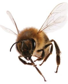Honey Bee Penn States work to unravel the mysteries of honey bee decline and Colony Collapse Disorder CCD won recognition and a 100000 gift from the E B OKeeffe Foundatio. Bee Nursery, Buzzy Bee, I Love Bees, Bees And Wasps, Bee Tattoo, Beautiful Bugs, Bee Art, Bugs And Insects, Save The Bees