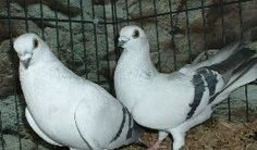 Damascenes  THIS BREED OF PIGEON IS ANCIENT GOING BACK TO THE 1600'S
