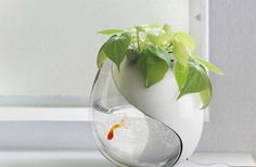 This glass bowl is a small aquarium and a planter at the same time, where a goldfish and a potted-plant can co-exist. Here, the fish excrements and food remnants provide nutrients to the plant while the fish enjoys fresh water that comes in when watering the plant. Both processes make the internal environment clean and frequent watering is not required as soil remains wet throughout the time.
