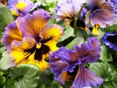 Estate Pansies in Containers | Philly Blooms! Pretty Perfect Pansy, the first blooming annual