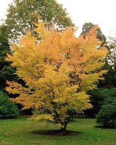 erable du japon acer palmatum 39 fireglow 39 arbres et arbustes d 39 ornement p pini res meylan. Black Bedroom Furniture Sets. Home Design Ideas
