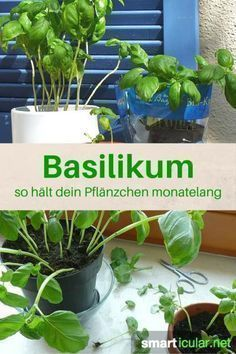 With these 7 tips, basil pots survive forever- Mit diesen 7 Tipps überleben Basilikum-Töpfchen ewig Basil is a healthy herb that also thrives on the windowsill. Unfortunately, many little plants die much too quickly! With these tricks they last forever: - Balcony Garden, Herb Garden, Indoor Garden, Garden Plants, Indoor Plants, Outdoor Gardens, Diy Garden, Little Plants, Small Plants