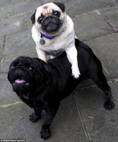 Blind Pug Guided by Seeing-Eye Pug: Elly is blind and relies on her sighted buddy Franky to help her get around, either by resting her forelegs on his back or by nuzzling his side. They are rescue dogs from Wales.