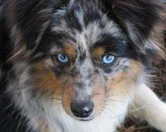 Australian Sheppard.  Gotta get one, cutest thing ever!