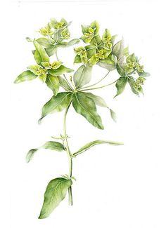 Euphorbia | Marianne Grundy-van Es | Flickr