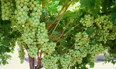 Ever thought of growing your own grapes? Here are some tips from the experts....totally doable :)!