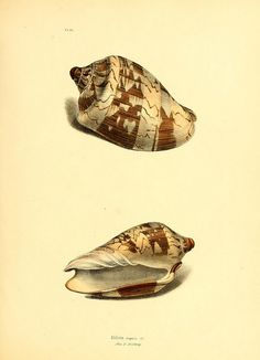 Exotic conchology : or figures and descriptions of rare, beautiful, or undescribed shells London :H.G. Bohn,1841.